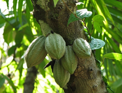 Cocoa fuel combats climate change